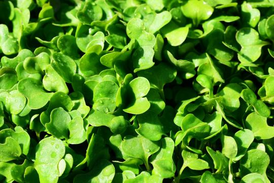 Salade Poivrée